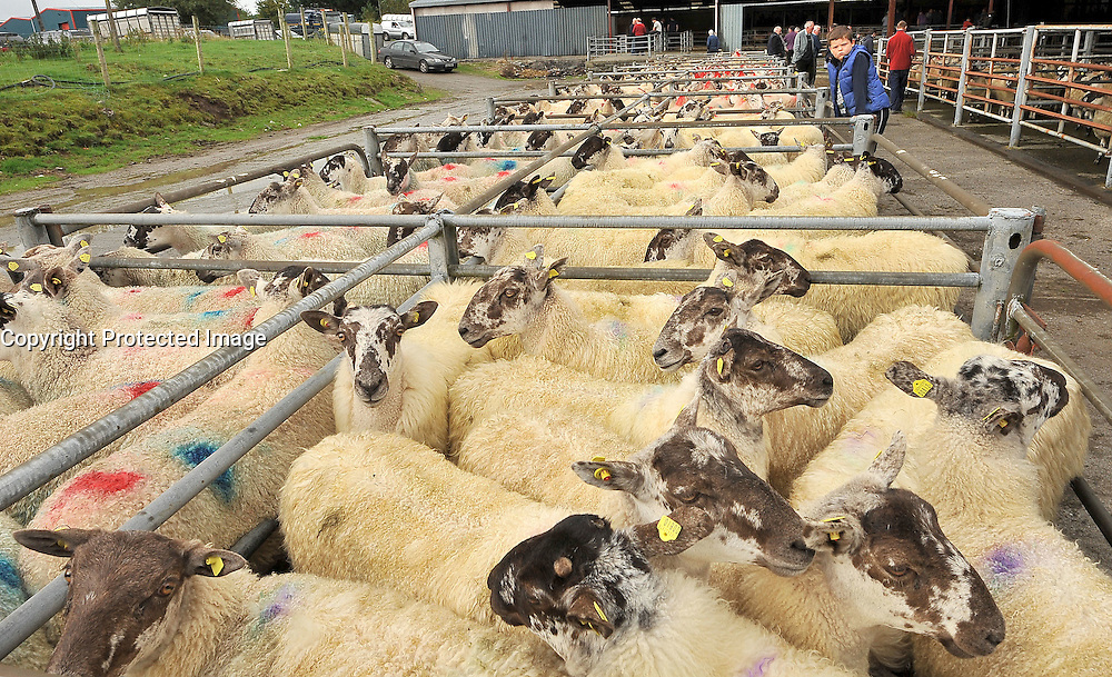 Mule Ewe Lambs at this years Mayo Mule and Greyface Show & Sale in Ballinrobe.<br /> Pic Conor McKeown