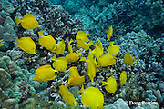 herbivorous yellow tangs, Zebrasoma flavescens, graze on algae growing on coral reef, Puako, Kona, Hawaii ( Central Pacific Ocean )