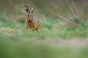 Brown Hare caught by surprise whilst grazing in a field in central Wales.