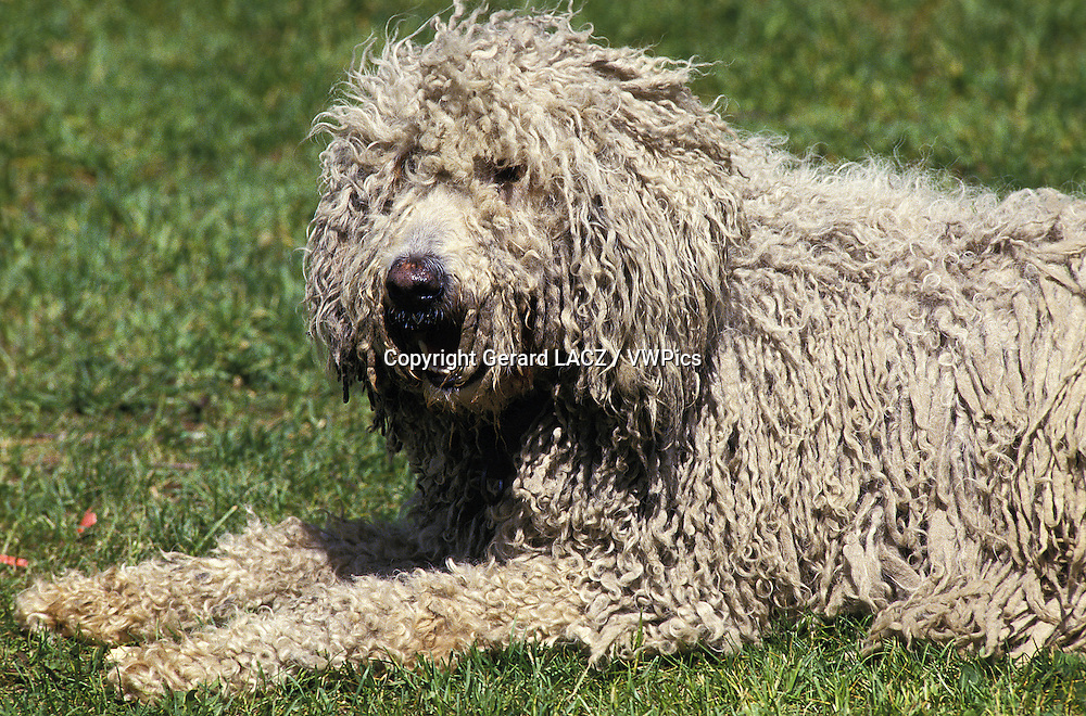 Komondor Dog, Adult laying on Lawn