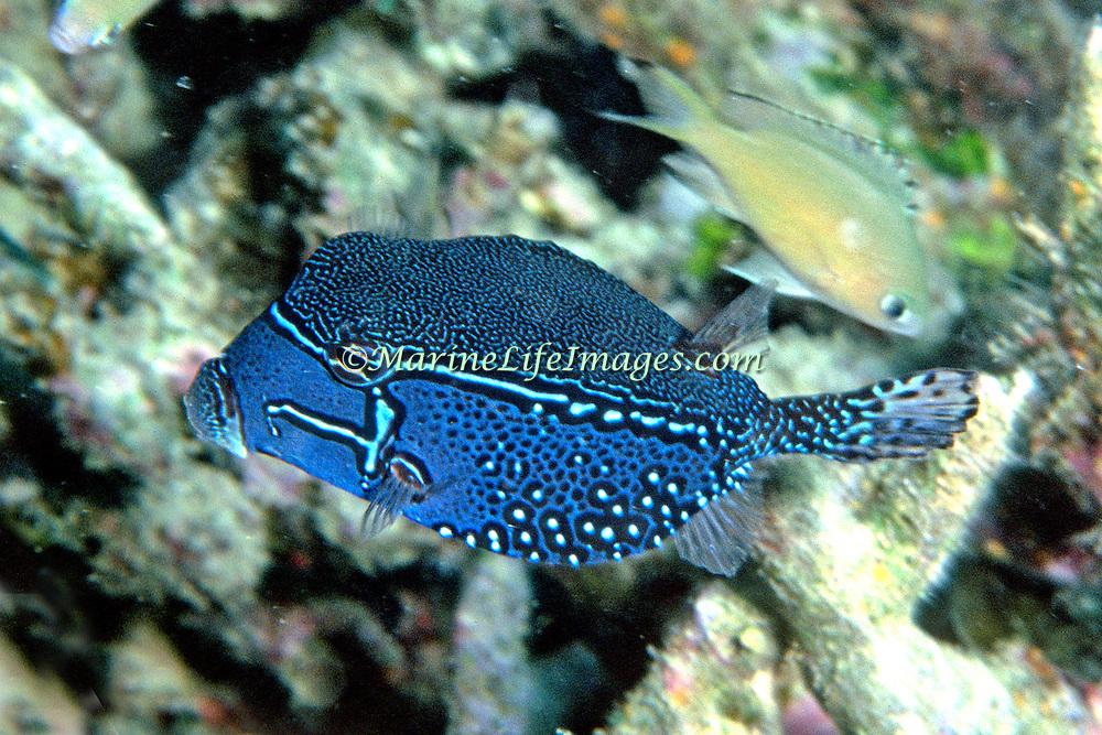 Solor Boxfish inhabit seaward reefs. Picture taken Fiji.