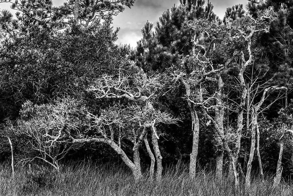 This image features several young live oak trees struggling to establish themselves in this brackish marsh area on the White Oak River in Cedar Point, NC near Swansboro.
