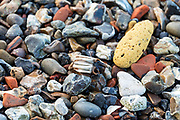 Herbivore tooth and yellow brick lying among fragments of brick, flint, chalk, and river stones, Greenwich, London.