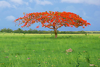 One of the most cherished trees by Puerto Ricans