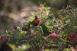 Three Rainbow Lorikeets (Trichoglossus haematodus) feeding on a Grevillea bush at Killcare in NSW.