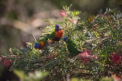 Three Rainbow Lorikeets (Trichoglossus haematodus) feeding on a Grevillea bush at Killcare in NSW.