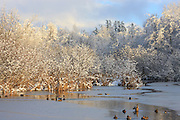 Several mallard ducks (Anas platyrhynchos) gather in the thawed portion of Scriber Lake in Lynnwood, Washington, during a sunny break between snow storms.