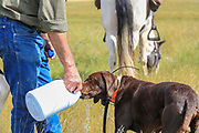 John Zeman's German shorthair Willy takes some water during a Montana horseback grouse hunt.