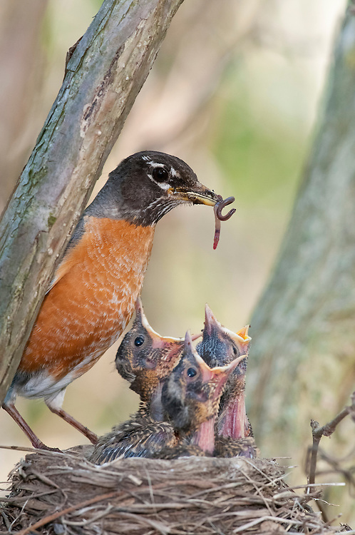 American Robin, Turdus Migratorius, female at nest, Magee Marsh, Ohio