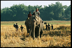 Elephants roam inside the Kaziranga National Park in Assam, eastern India where thousands of tourists visit each year. India and its sacred elephants are threatened by deforestation and encroachment of the reserved land and natural forests.  As a result, wild elephants are rampaging through villages, killing people and destroying their homes and crops. They are often atttracted by the rice farms and in one night can destroy an entire villages' crop. (Ami Vitale)