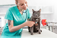 Doctor examining Russian blue cat with stethoscope at veterinary clinic