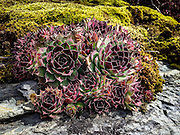 Hen and Chicks growing wild in a Woods Bay, Montana