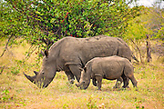 A mother and baby White Rhinoceros eat together.<br /> <br /> The white rhinoceros or square-lipped rhinoceros (Ceratotherium simum) is the largest and most numerous species of rhinoceros that exists. It has a wide mouth used for grazing and is the most social of all rhino species.