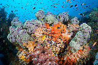 Pastel Soft Corals and Schooling Reef Fishes<br /> <br /> Shot in Indonesia