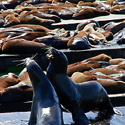 Two male Sea Lions fighting for territory at Pier 39, San Francisco