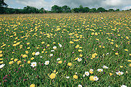 Kingcombe Flower meadow Nature Reserve, Dorset, UK
