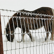 A pony dug a hole in the snow, looking to graze after a winter storm dumped over 7 inches of snow on central Iowa in February of 2007.
