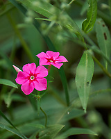 Phlox wildflower in my garden. Image taken with a Fuji X-T2 camera and 100-400 mm OIS telephoto zoom lens