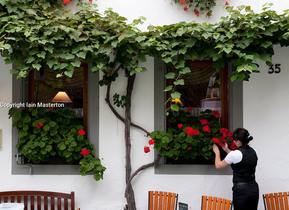 Waitress placing fresh flowers on window  of cafe  in Beilstein village on River Mosel in Rhineland-Palatinate Germany