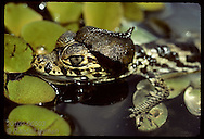 Baby caiman surfaces with 'agua pe' (water foot) leaf atop head; Pantanal breeding program. Brazil