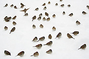 Birds on the snow in central park in New York City. photo by Joe Kohen