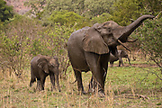 Elephant mother and baby, Kruger, Africa
