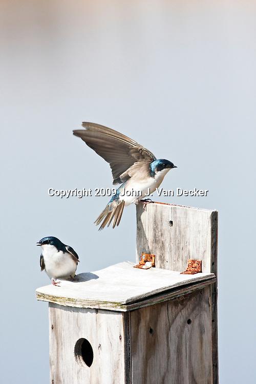 Tree Swallows on their nesting box