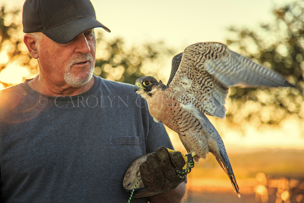 Falconer working with his Peregrine Falcon in a California vineyard.