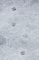 Fresh Polar Bear (Ursus maritimus) tracks outline travels by a recent bear on the ice in Storfjorden.  Svalbard, Norway.