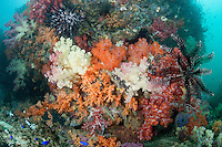 Soft Coral and Crinoid encrusted reef..Shot in Indonesia..