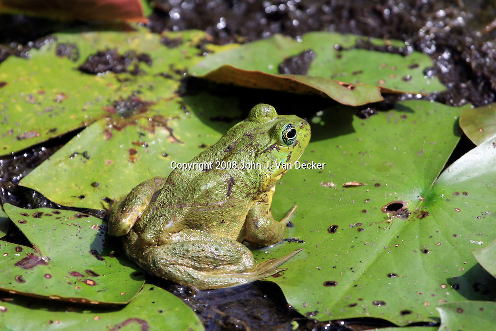 Bullfrog sitting on a lilly pad