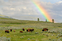 Bison [Bison bison] grazing on hillside with rainbow; Yellowstone NP., Wyoming