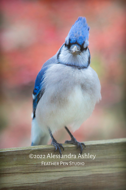 Blue Jay shows fluffed feathers and crest on cool and cloudy autumn day in central Ohio, with red foliage background.