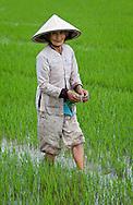 Elderly Women in a Rice field, Nha Thrang.