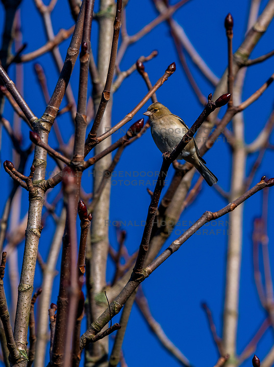 23-01-2019 NED: Birdwatch around your garden, Maarssen<br /> Vink (Fringilla coelebs)
