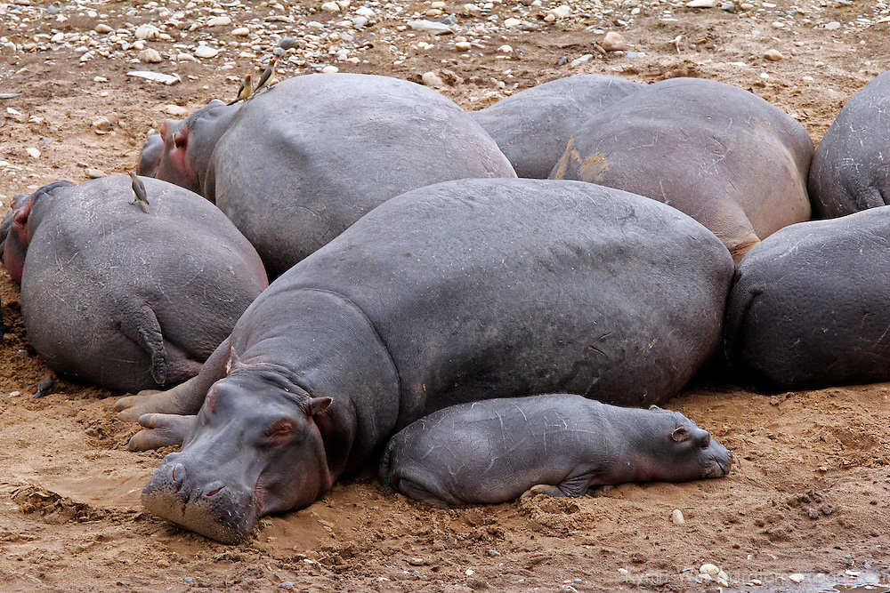 Africa, Kenya, Maasai Mara. Hippos resting on the banks of the Mara River.