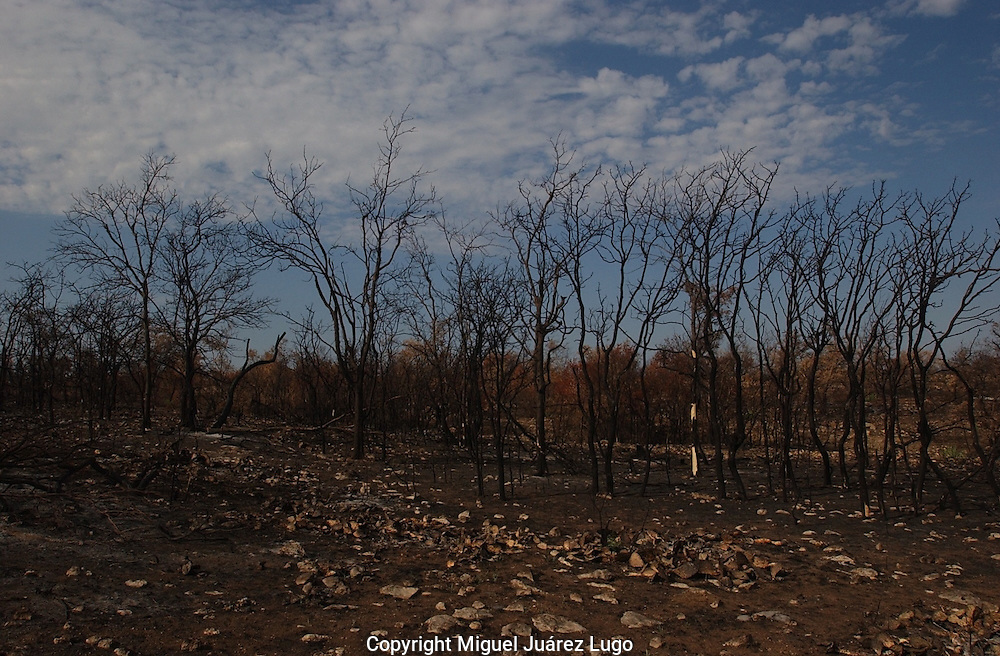 Charred mesquite trees leave a strange landscape after a wildfire in Throckmorton County, Texas. West Texas is experiencing one of the worst droughts since the 1950s.. (PHOTO: MIGUEL JUAREZ LUGO).