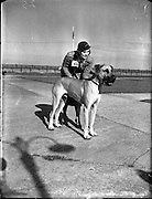 16/08/1952<br /> 08/16/1952<br /> 16 August 1952<br /> <br /> Firth, Miss Pamela, Rockville, Newtown, Waterford with her father's Great Dane 'Breeze of Blendon' at Bray Dog Show. Winner of three first prizes  and reserve best bitch.
