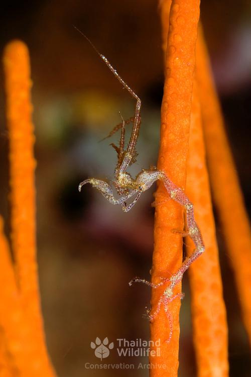 Ghost shrimp Caprellid sp. in Lembeh Straits, Indonesia.