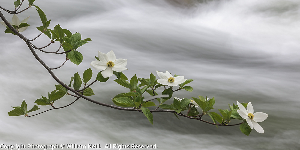 Dogwood Blossoms, Merced River, Yosemite National Park, California 2014