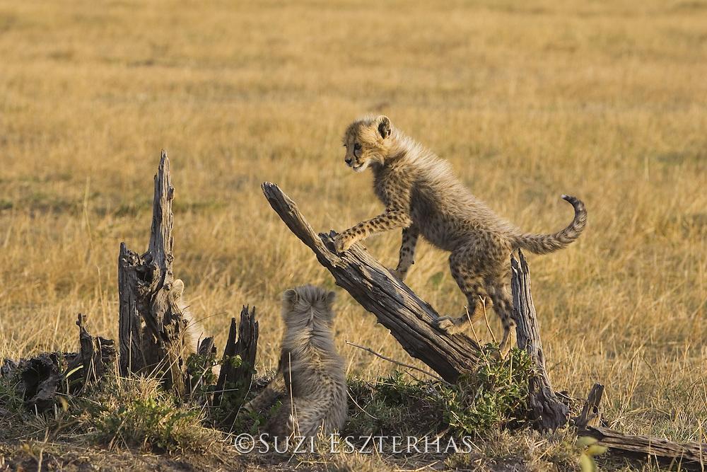Cheetah<br /> Acinonyx jubatus<br /> 6-8 week old cub(s) playing<br /> Maasai Mara Reserve, Kenya