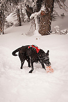 Izzie is one of the rescue dogs working at Deer Valley. Here she is finding a buried hat.