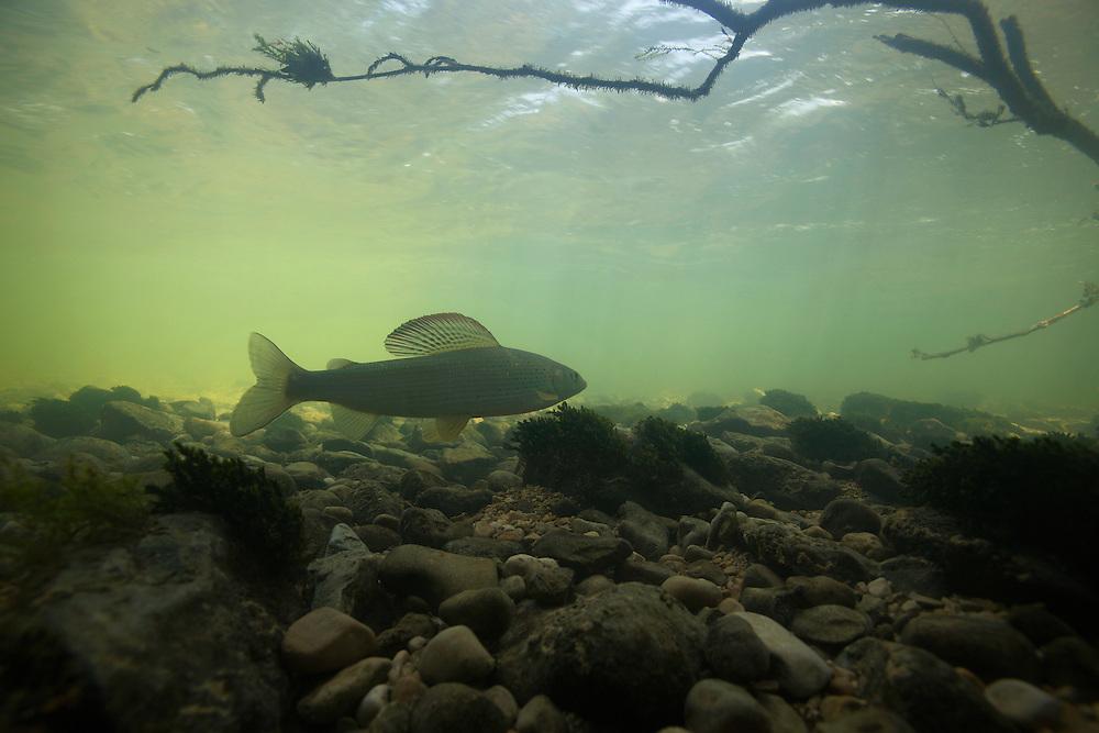Grayling (Thymallus thymallus) <br /> Ain river, France<br /> &Auml;sche (Thymallus thymallus)<br /> Ain, Frankreich<br /> Ombre (Thymallus thymallus)<br /> Ain, France<br /> 24-06-2009
