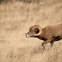 bighorn ram rutting in persuit of ewe wild rocky mountain big horn sheep
