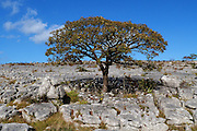 A perfect field maple (Acer campestre) tree growing in limestone pavement and surrounded by glacial erratic boulders at Holme Park Fell, South Cumbria.<br />