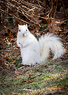 A leucistic grey squirrel stands out against the autumn woodland background.