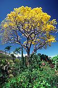 Gold Tree, Island of Hawaii<br />