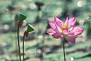 Vietnam Images-Lotus-Flower-Hoa sen -Hoàng thế Nhiệm