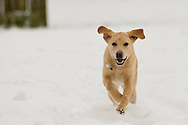 Future Guide Dog, 6-month-old Labrador Terri, plays in Corsham Park during a break in her training, following heavy overnight snow in north Wiltshire. January 18 2013.  Corsham, UK.<br /> Photo by: Mark Chappell/i-Images