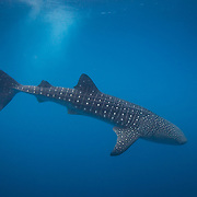 Underwater photo of a Whale Shark (Rhincodon typus) encounter during dive trip to Gladden Spit and Silk Cayes Marine Reserve, off the coast of Placencia, Stann Creek, Belize
